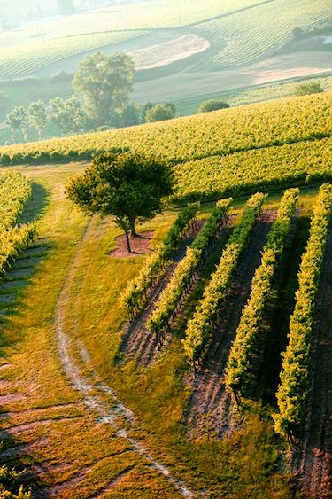 The rolling Cognac vineyards