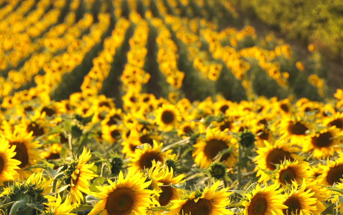 Sunflower field in Charente
